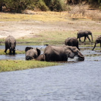 Wild Elephants in Chobe River, Chobe National Park, Botswana, Africa