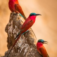Southern Carmine Bee-eater (Merops nubicoides